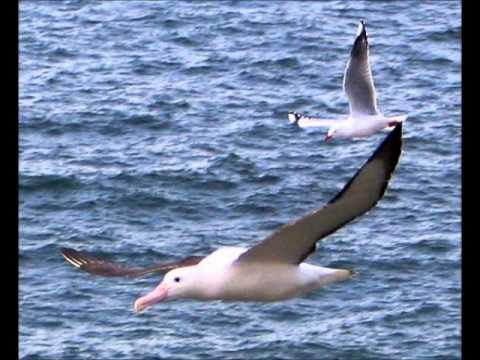 Johny Madsen Fri Landing For Albatrosser