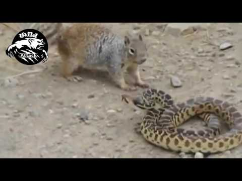 snake vs mongoose best attack compilation ever HD