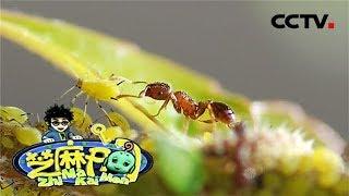 《芝麻开门》蚂蚁趣知识:蚂蚁能放牧蚜虫?20190729   CCTV少儿