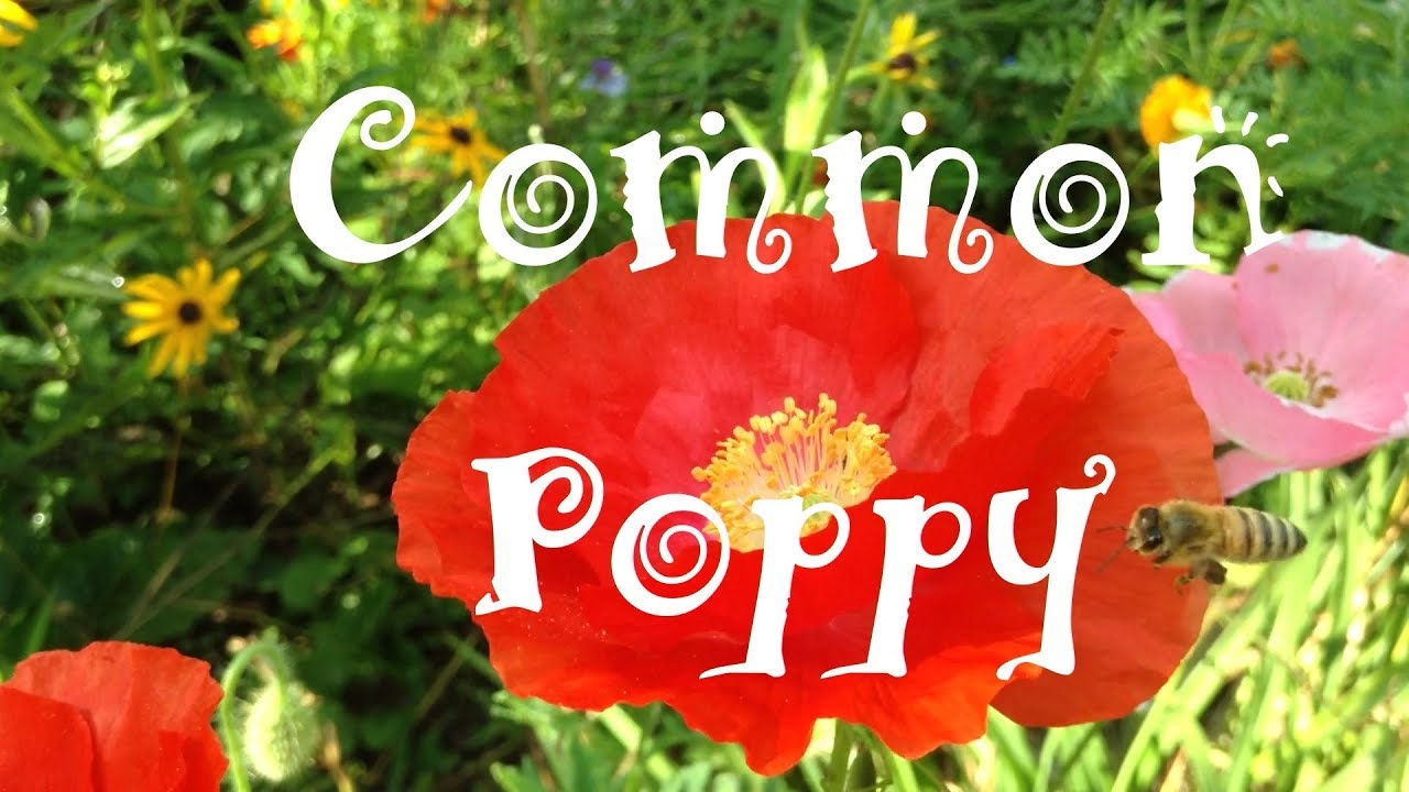 Common Poppy Papaver Rhoeas Flowers Pods Seeds Youtube