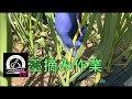 にんにく栽培【薹摘み(とうつみ)作業】(2018 06 05)~にんにくのよしだ家