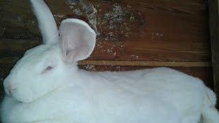 Разведение кроликов: Кролики породы белый великан и калифорнийский. 2015(Селекционеры утверждают, что кролики породы белый великан – это оптимальный выбор для кролиководов нашей..., 2015-08-23T07:08:42.000Z)