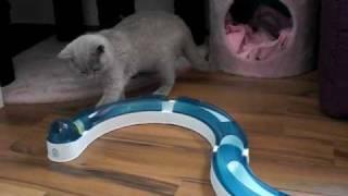 Kitty BKH lilac 12 Wochen alt