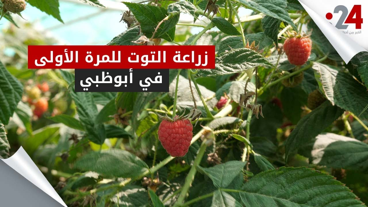 زراعة التوت للمرة الأولى في أبوظبي Youtube