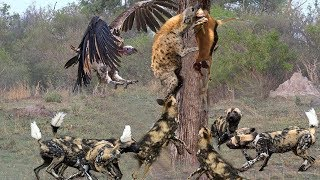 ANIMALS DISPUTE |  Hyena Fail To Protect Food From Vultures & Pack Of Wild Dogs
