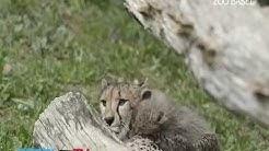 Junge Geparde im Zoo Basel