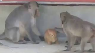 When monkeys try to fuck kitten ** funny video must watch*