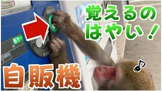 【天才猿】お猿さんに自動販売機の使い方を教えてみたら…すごすぎた!!!! thumbnail