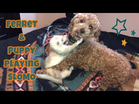 Ferret & Puppy Play Time SLOMO - Cute Animals Inside 4 - VOL. 60