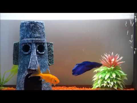 Betta And Goldfish