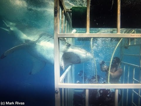 Great White Shark off Guadalupe Island with Solmar V