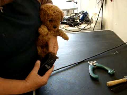Hearthside Poodle Puppy Getting Groomed