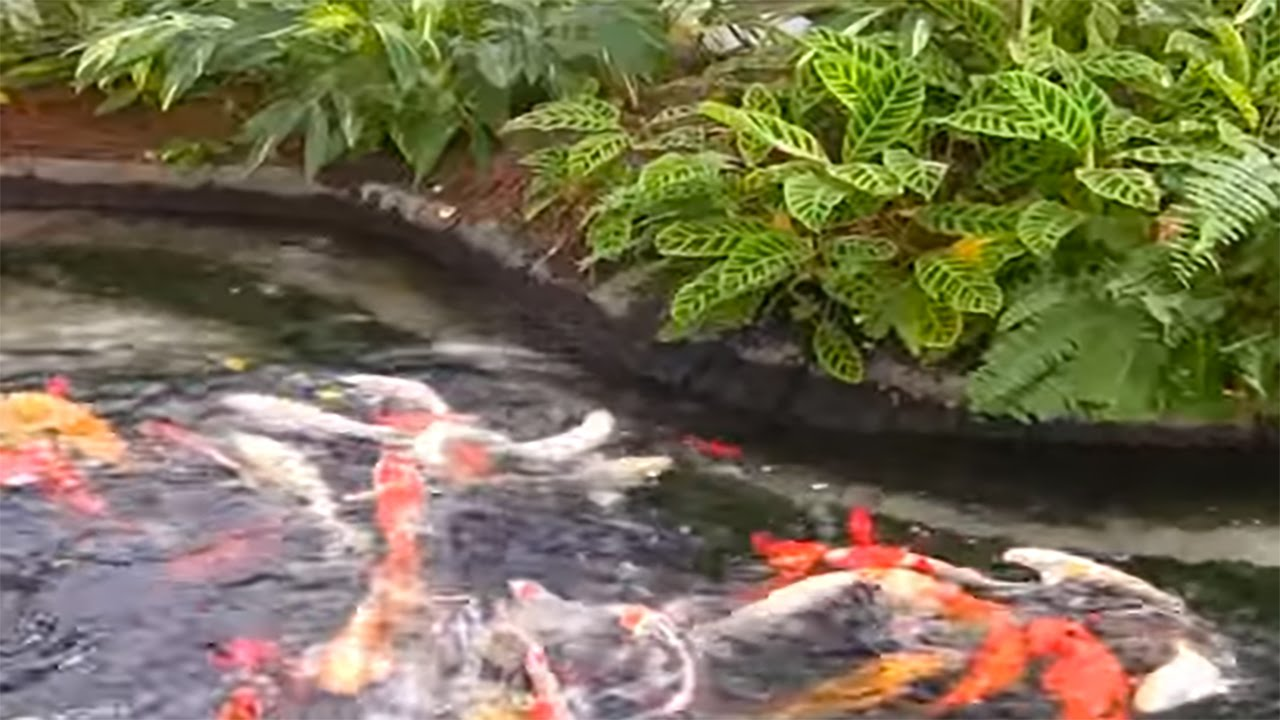 koi fish pond koi fish ponds spring cleaning black beauty koi