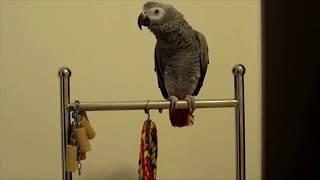 The ULTIMATE Birds Cursing Compilation, ONLY BEST CLIPS, Funny Birds 2018