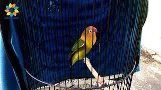Download lagu Cara Perawatan Lovebird Betina Single Fighter Yang Macet Bunyi Karena Over Birahi