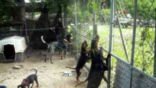 Training 4 Month Old Black & Tan Coon Hound Puppies