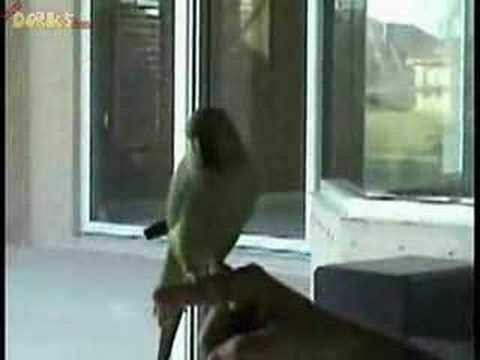 Parrot – best trained bird