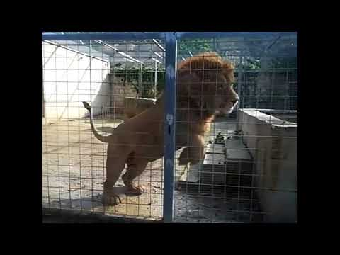 The lion Cecil from malta in slow motion