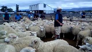 Dannevirke and Pahiatua Combined Ewe Fair 26th Jan 2012.MP4