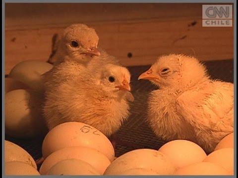 Sepa cómo criar gallinas en su propia casa
