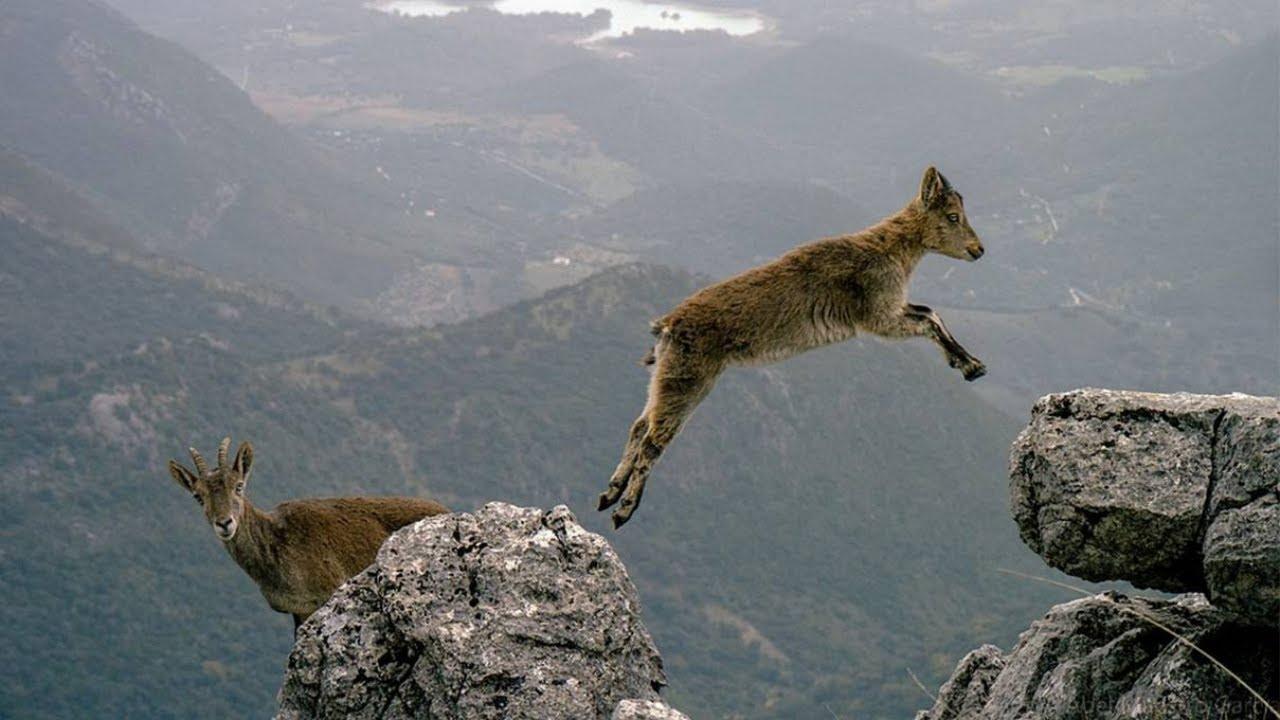Download CABRAS RADICAIS!!! Vejam o que esses animais são capazes de fazer!