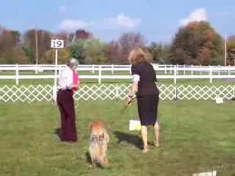 Saluki 10 yrs old from Vermont at Wrightstown AKC Trial