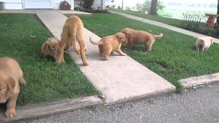 Golden Retriever Puppies For Sale In Central Pa