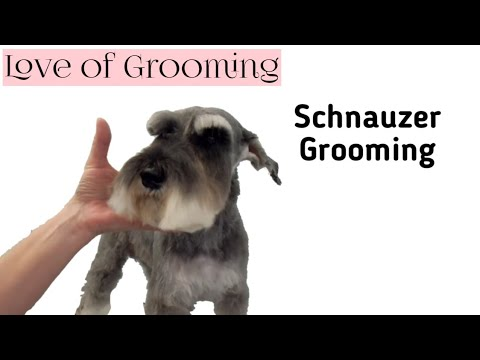 Grooming a Pet Miniature Schnauzers Head