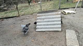 Wypuszczam kury jak co rano :)