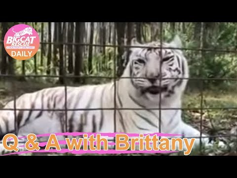 Q&A with Brittany~Checking in on Zabu Tigress at Tiger Lake  3.4.2019