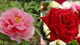 新・牡丹と薔薇 11/30(月)ト゛ロト゛ロ始動】 あれから12年…。伝説...