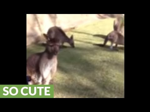 2-year-old toddler adorably plays with baby kangaroo