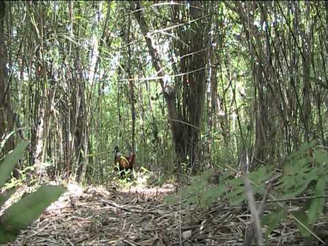 ต่อไก่ป่าซุ้ม 2