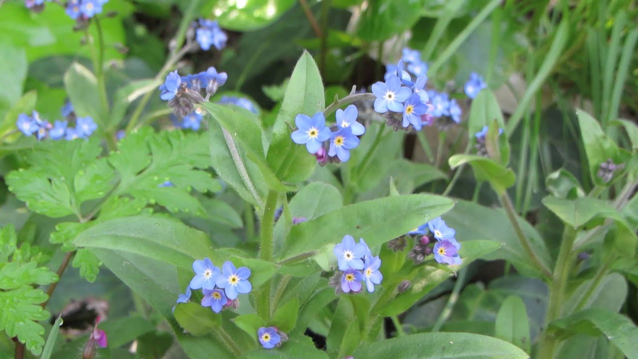 Meet The Forget Me Not Flower Youtube