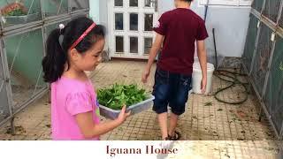 Iguana House Con Nít Chăm Sóc Iguana ( kids love taking care of Iguana )