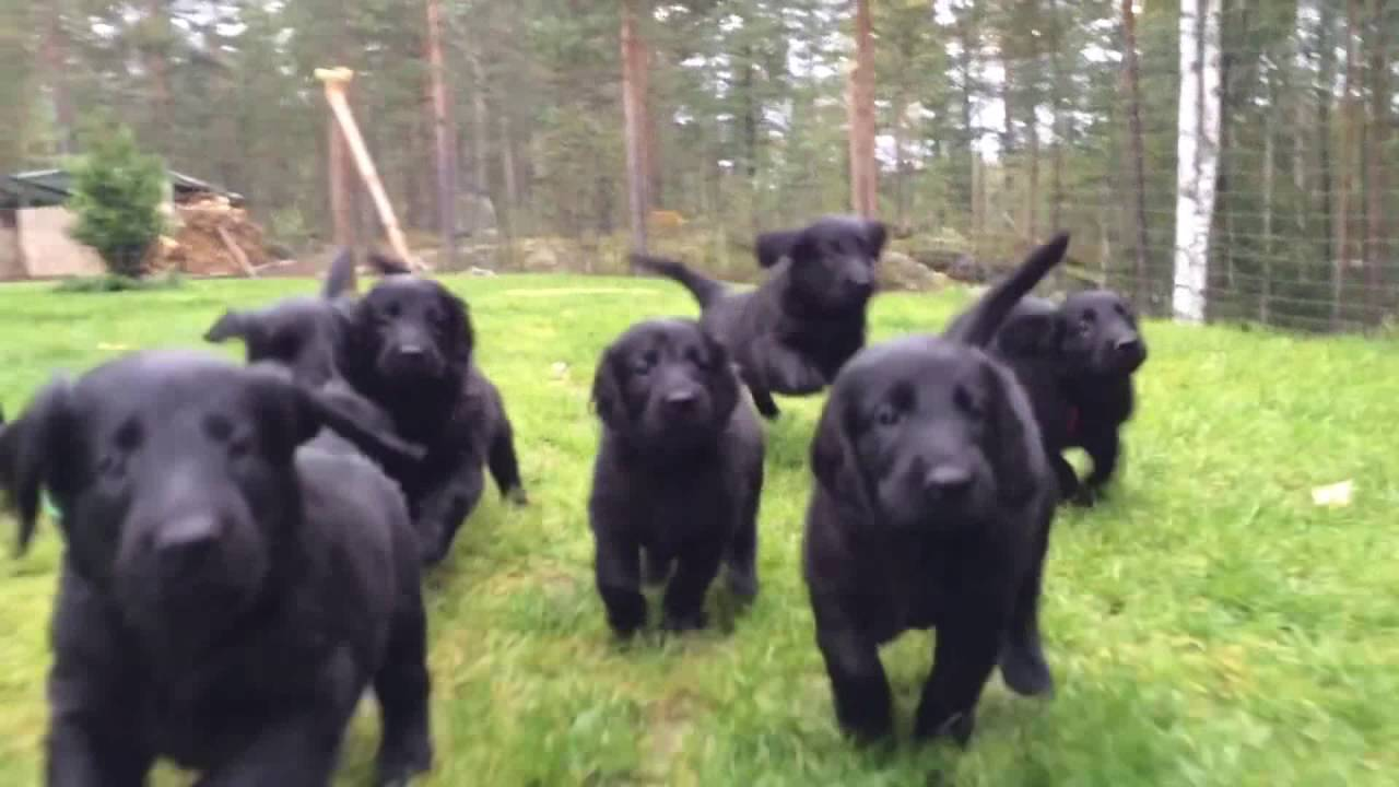Flatcoated Retriever Puppies Youtube