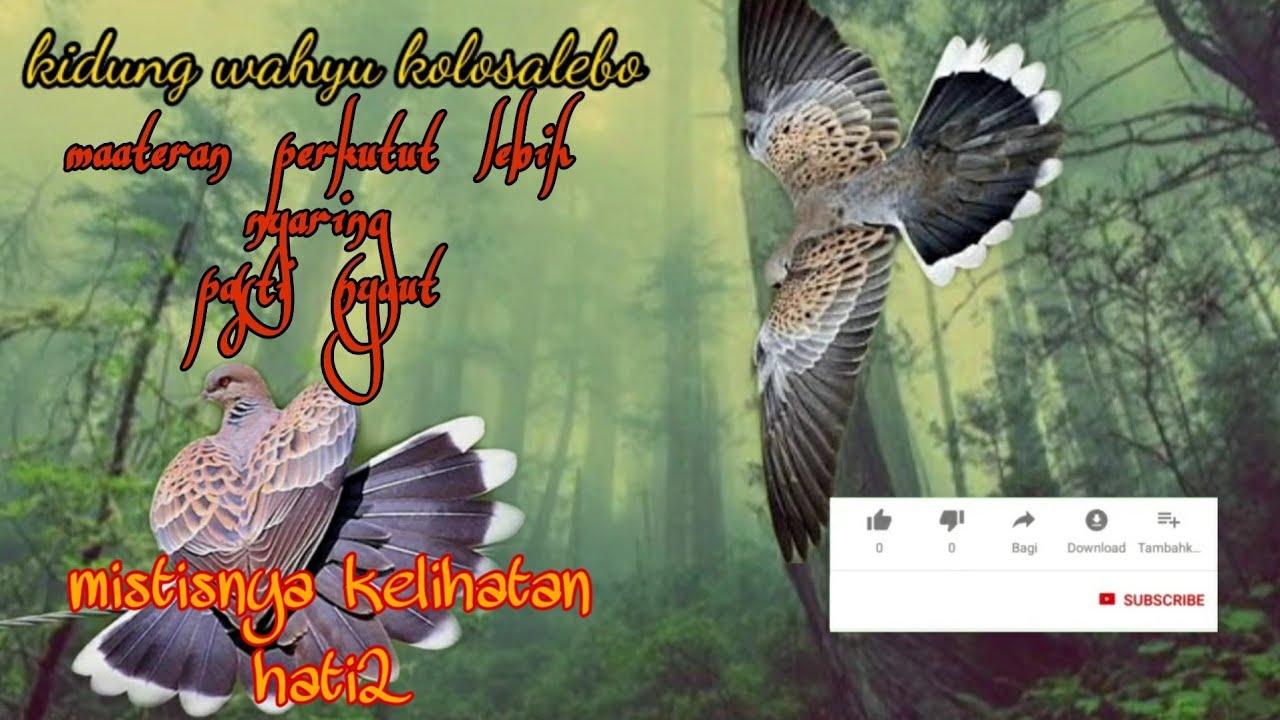 Masteran Burung Perkutut Mp3 Di Iringi Musik Kolosalebo Mistisnya Kelihatan Youtube