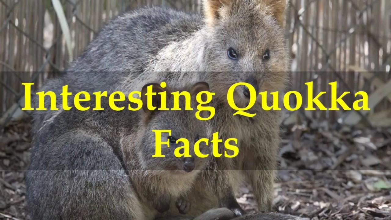 Interesting Quokka Facts - YouTube