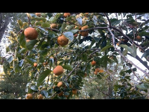 Picking Fuyu persimmons from Queen Bonita���� ��