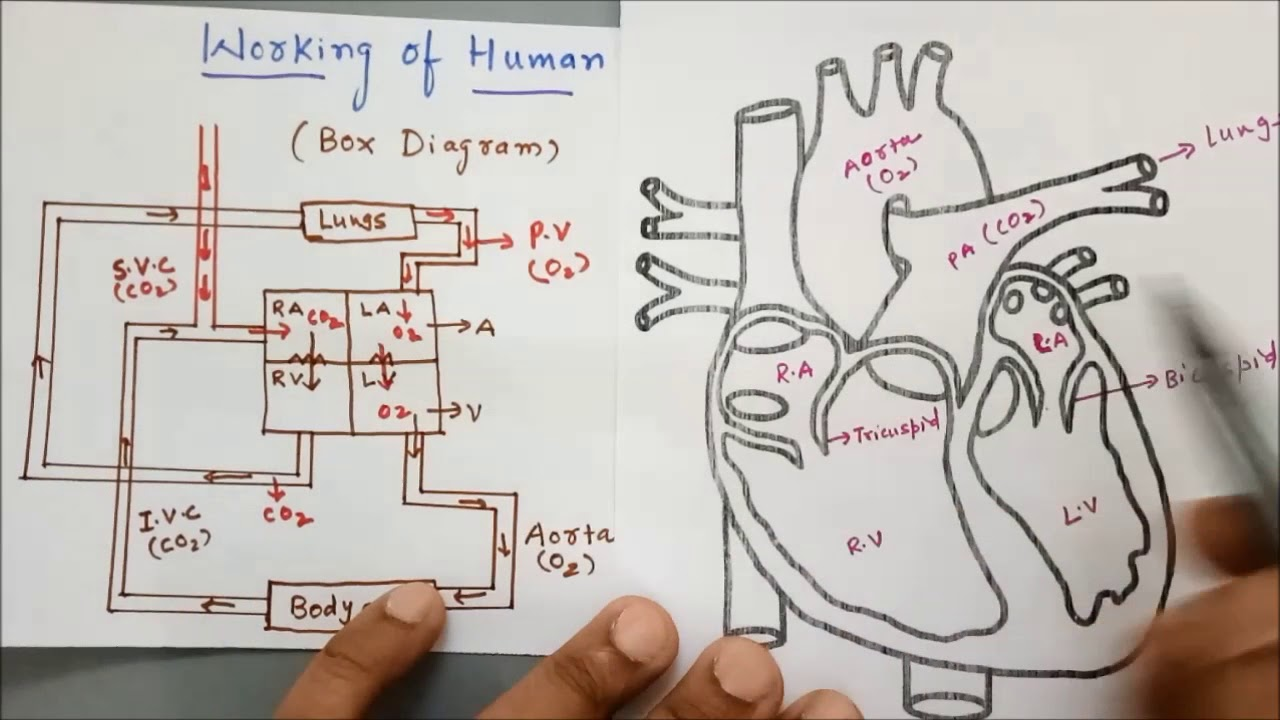 Human Heart Box Diagram Vs Real Heart Diagram
