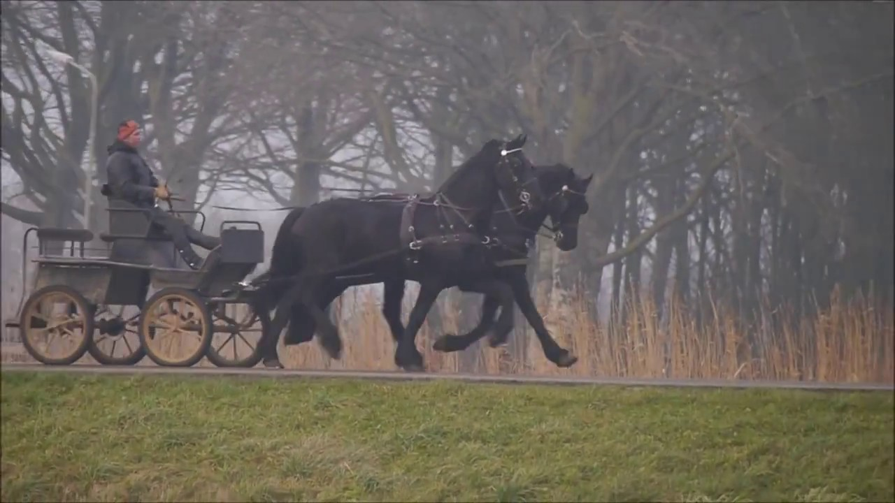 Opvallend tweespan friesen te koop impressing pair friesians for sale youtube - Te koop ...