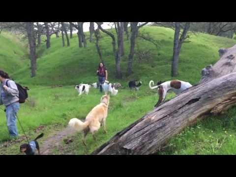 21 HOUND HIKE - Silken Windhounds, Borzoi, Dachshunds, and Magyar Agars