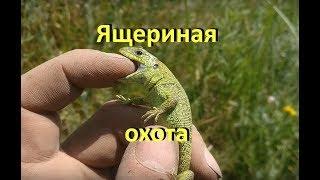 Большая охота на ящериц / ящерица прыткая / ловля, содержание, транспортировка