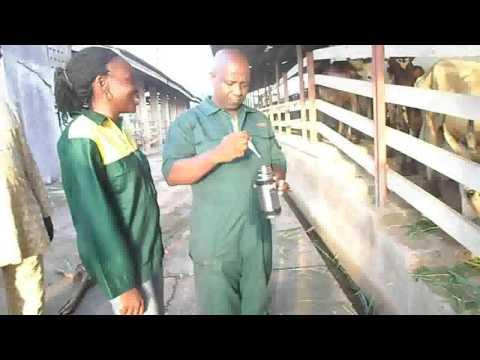 Artificial Insemination @ OAU T&R Farm, Ile-Ife, Osun state, Nigeria