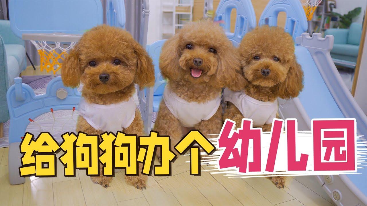 铲屎官打造萌宠幼儿园,3只小泰迪又激动又懵:连狗狗也要上学?【萌星人火龙果】