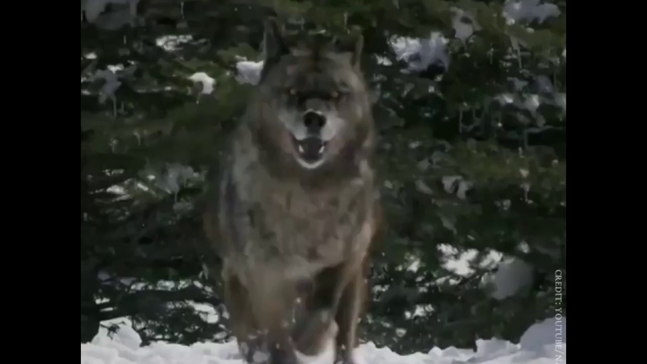 how wolves change rivers Published on feb 13, 2014 thanks to n visit to explore the world of sustainability for more from george monbiot, visit and for more on rewilding visit when we try to pick out anything by itself, we find it hitched to.