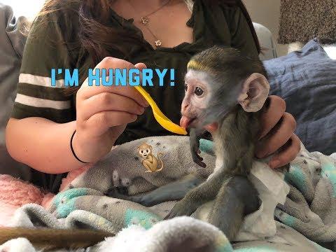 Baby monkey   Max tries new food