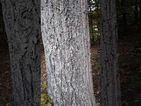 Tree identification: live oak
