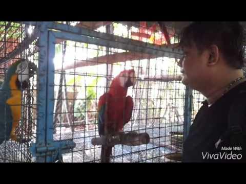 นกแก้วมาคอว์ (Macaws)
