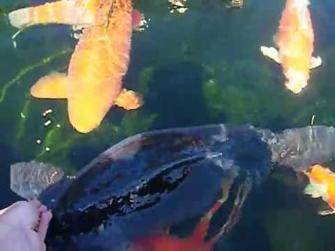 Giant mirror and koi carp youtube for Giant koi carp